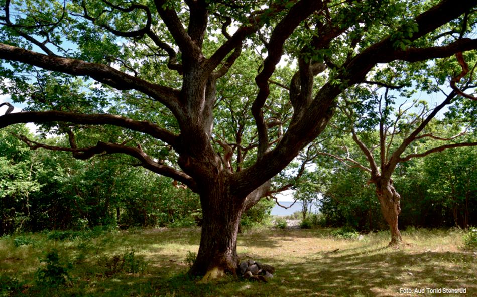 Hule og døde trær er fulle av liv, og trærne på Jomfruland og Stråholmen er gode eksempler på naturmangfold.